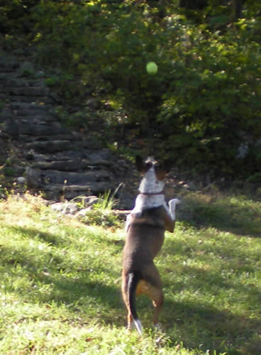 Dog jumping for tennis ball