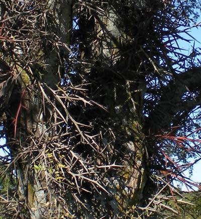 Very thorny locust tree