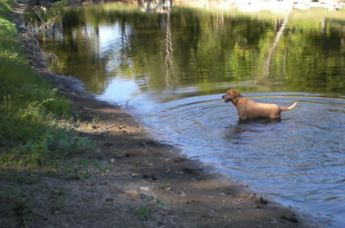 Dog in pond