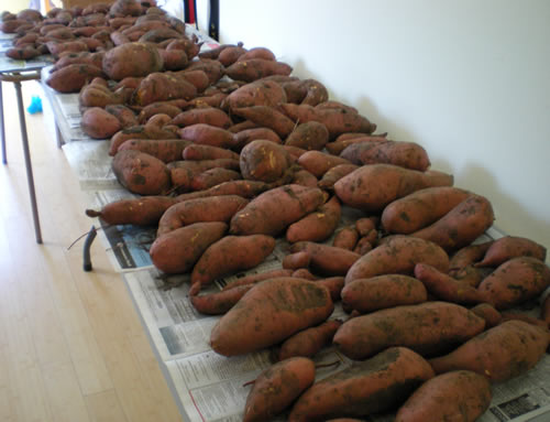 long table covered with sweet potatoes