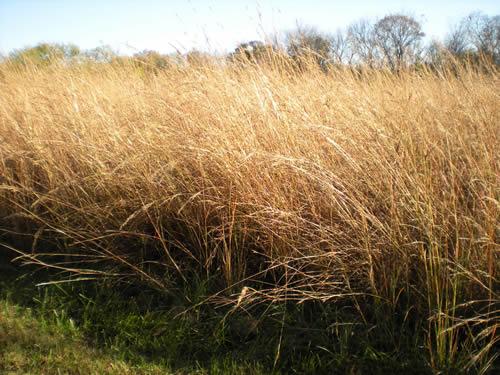 tall prairie grass
