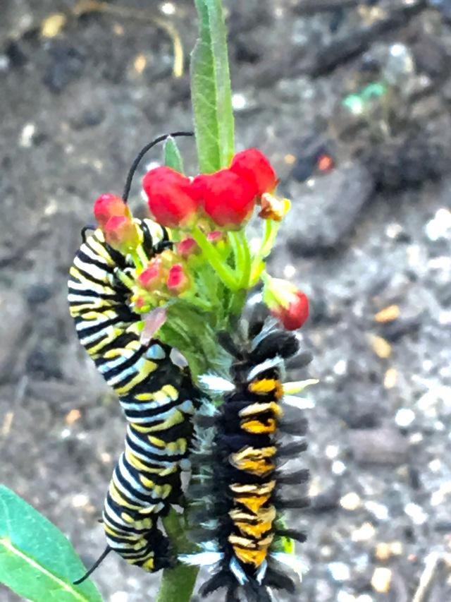 Monarch and milkweed tiger